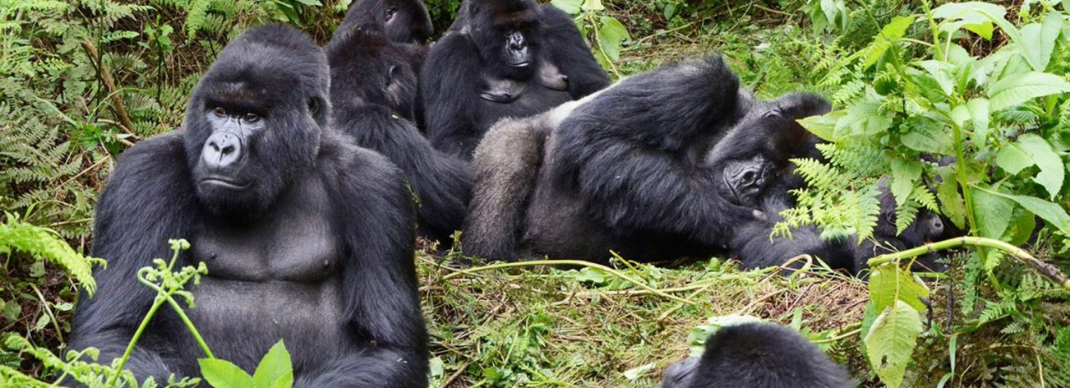 3 Days Congo Gorilla Tracking Tour